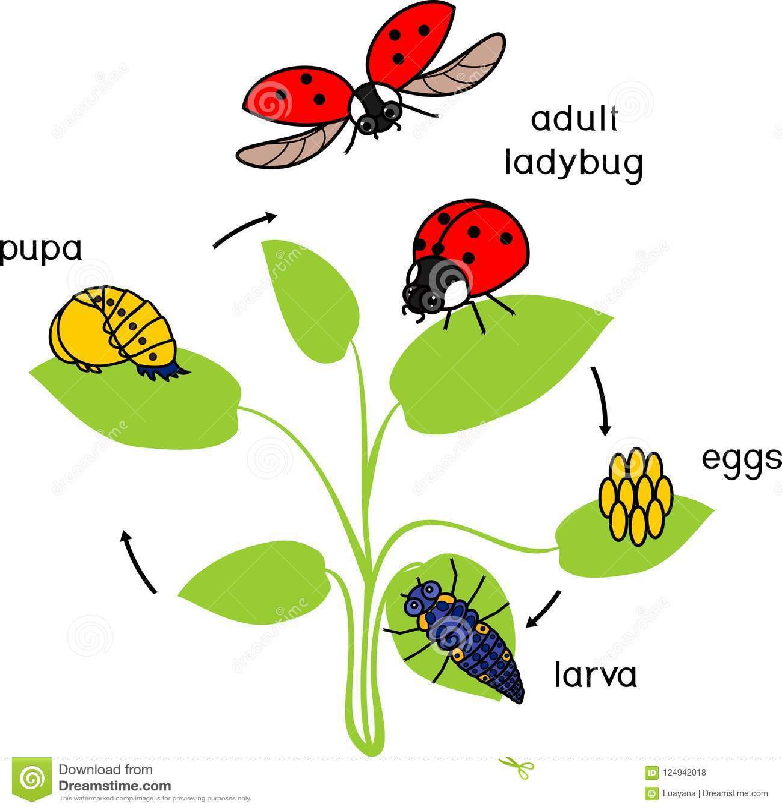 Life Cycle Of Ladybug Stages Of Development Of Ladybug