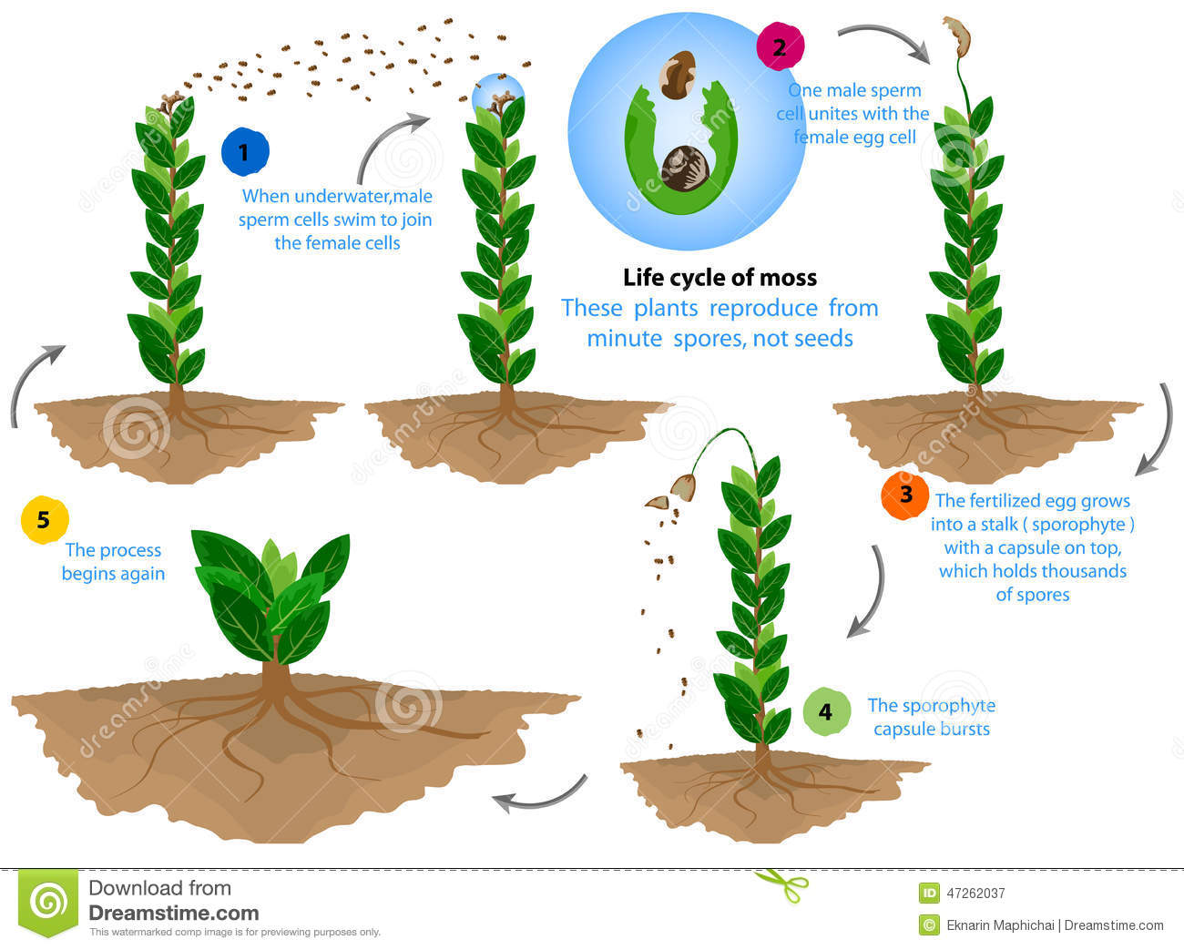 Life Cycle Of Moss Stock Illustration Illustration Of