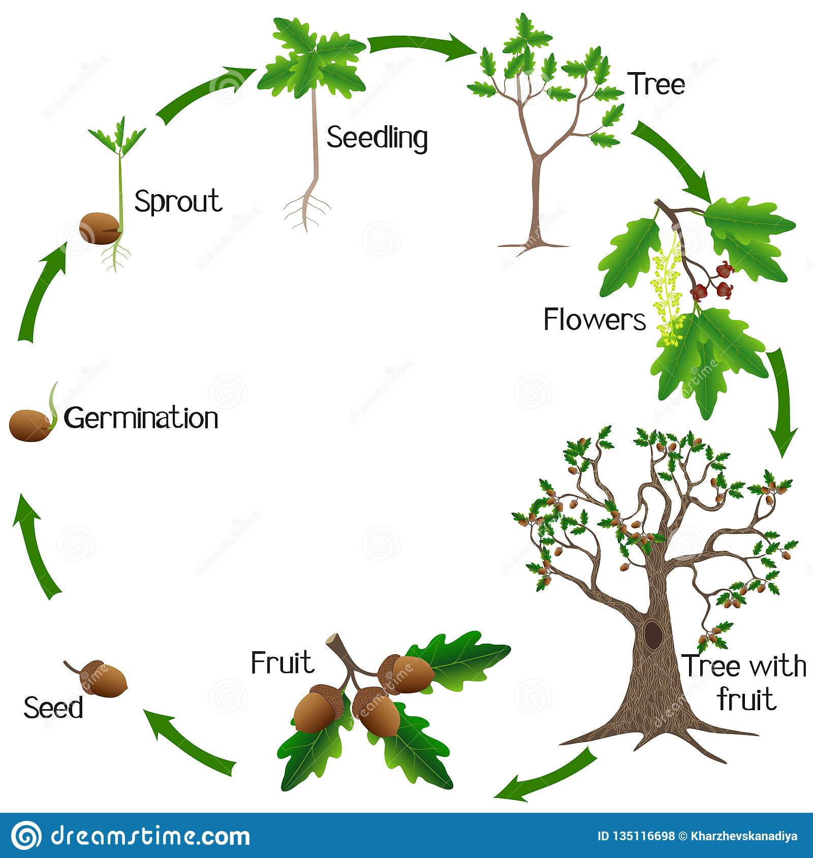 Life Cycle Of A Oak Tree On A White Background Stock