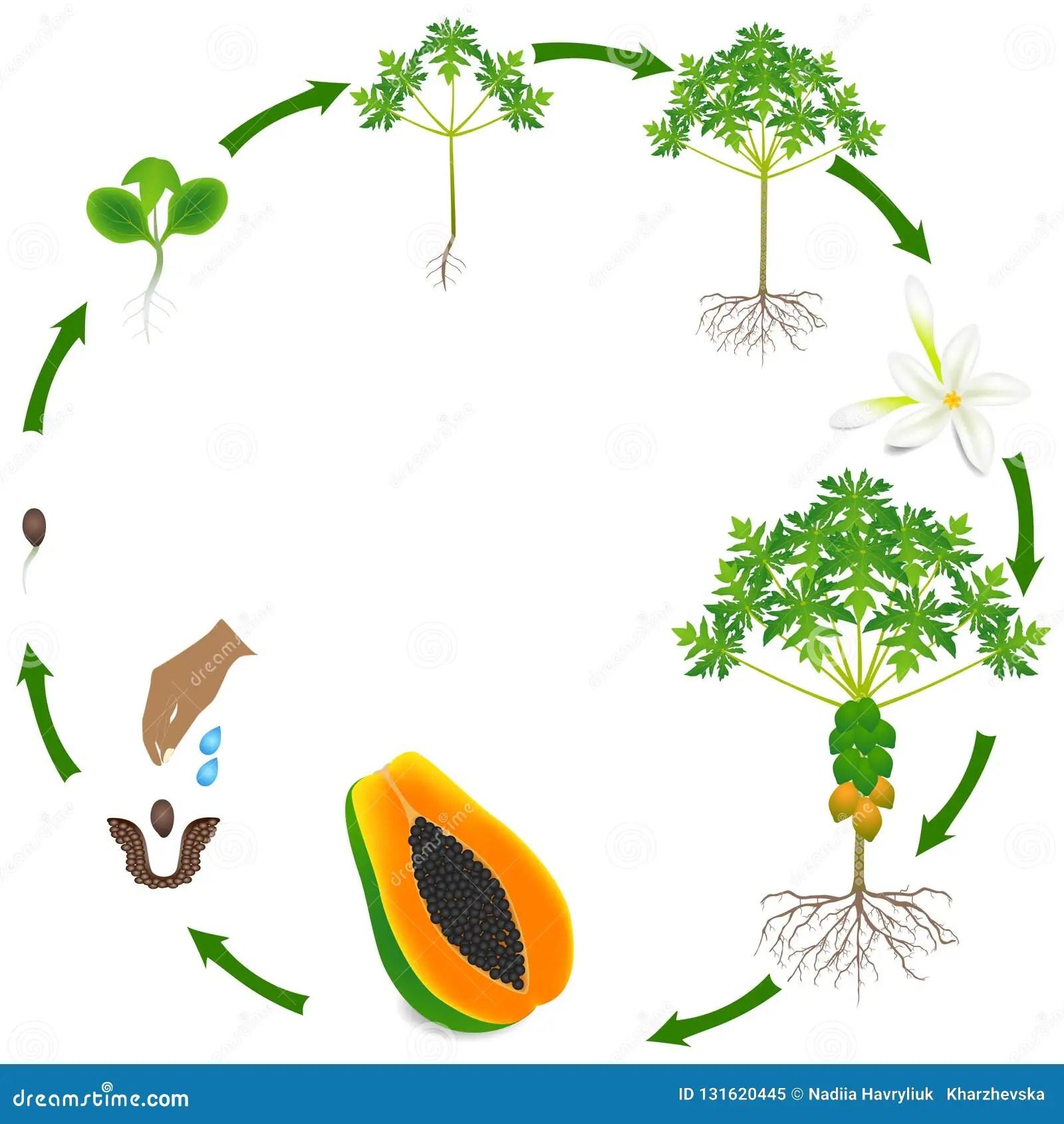 Life Cycle Of Papaya Tree On A White Background Stock