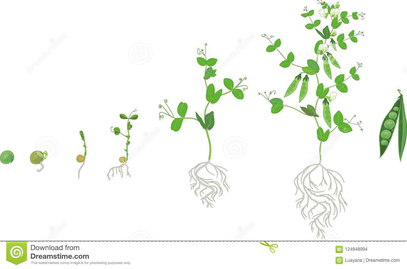 Life Cycle Of Pea Plant With Root System Stages Of Pea