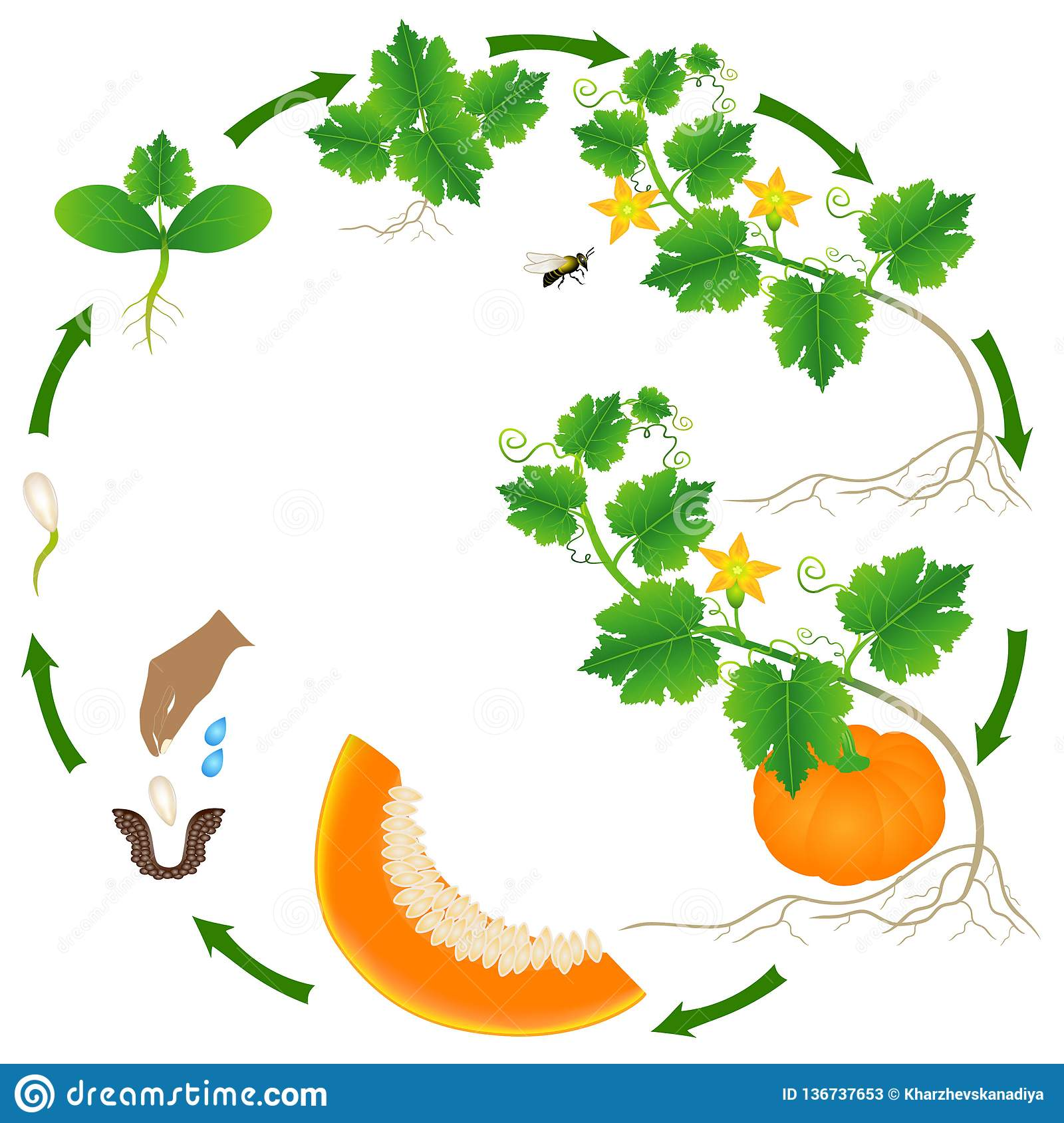 Life Cycle Of A Pumpkin Plant On A White Stock Vector