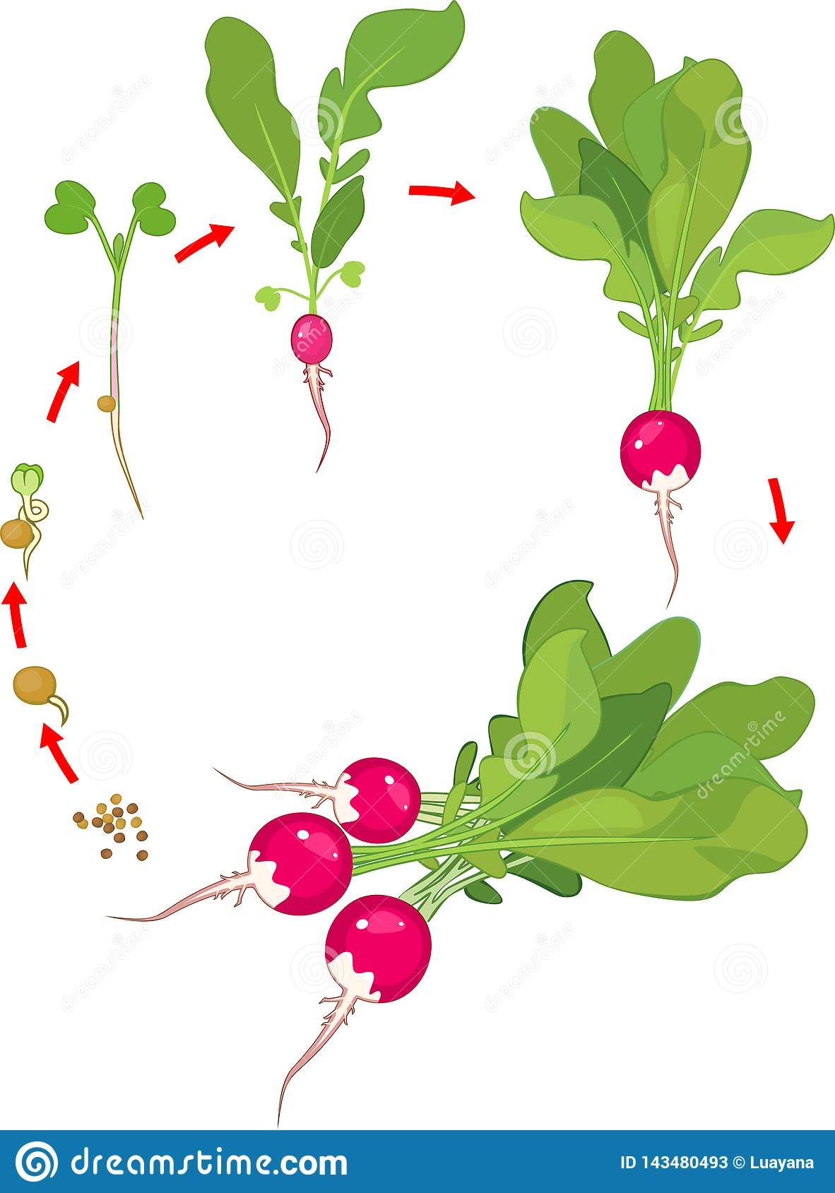 Life Cycle Of Radish Plant Stages Of Radish Growth From