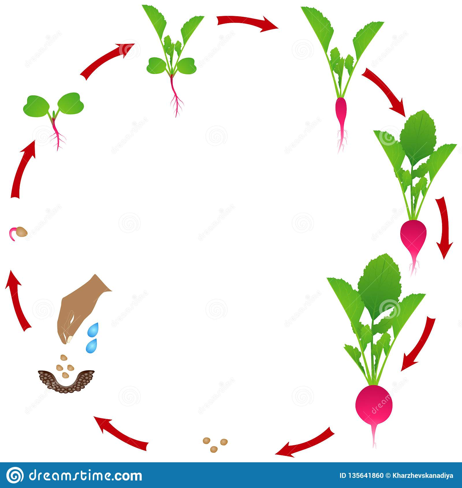 Life Cycle Of Radish Plant On A White Background Stock