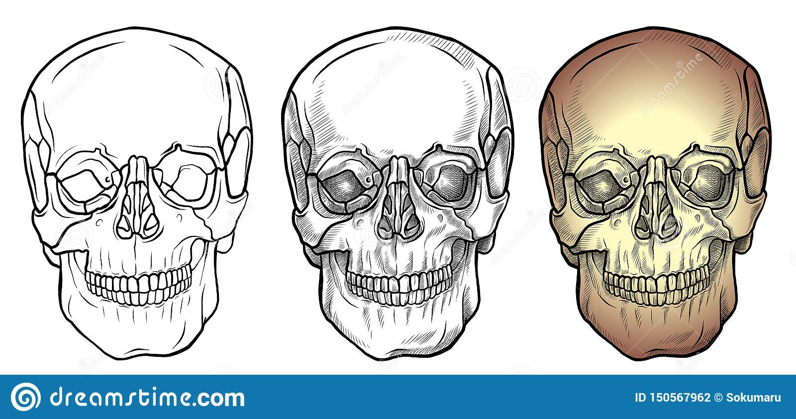Skull Front View Stock Illustration Illustration Of
