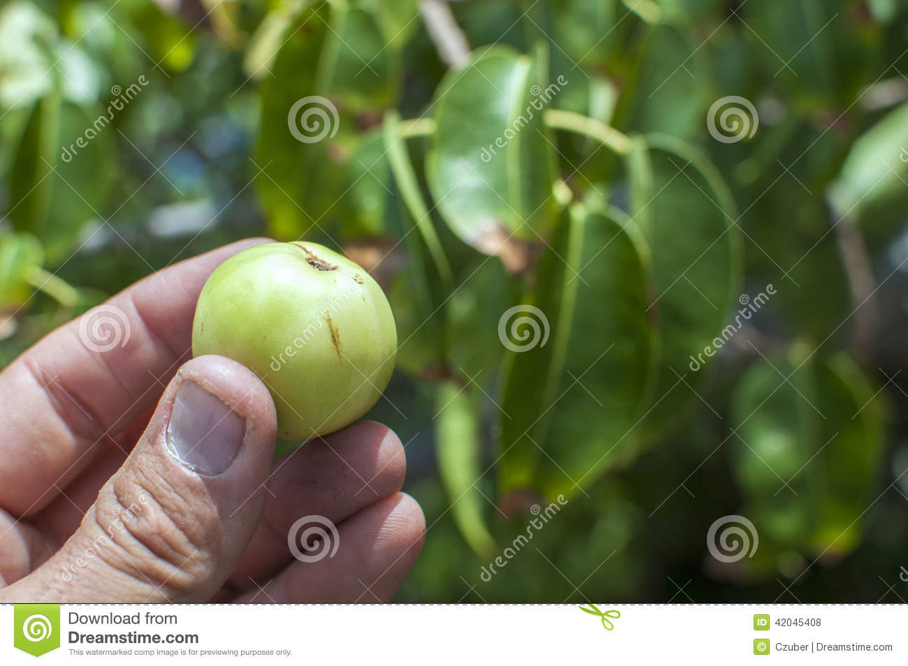 Little apple of death stock photo  Image of little  edible   42045408 Little apple of death
