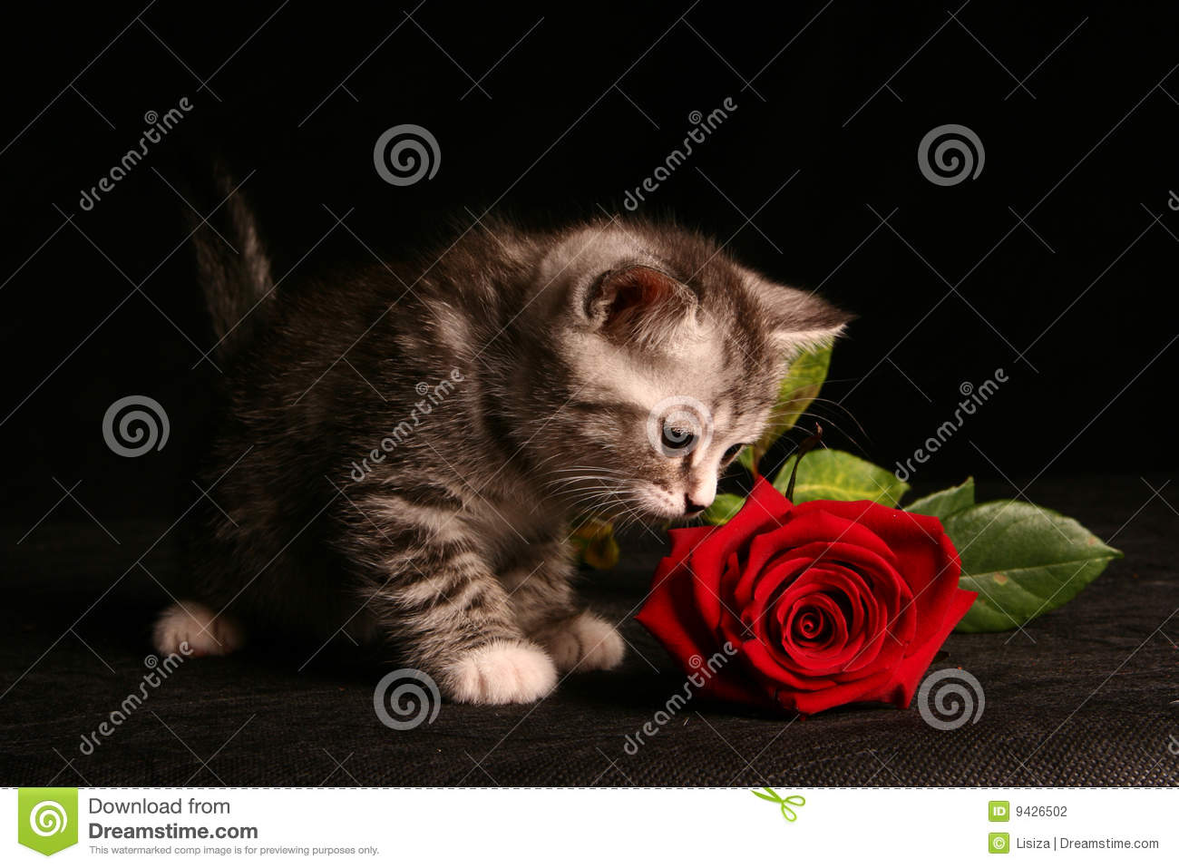 Little Cat With Red Rose Stock Photography Image 9426502