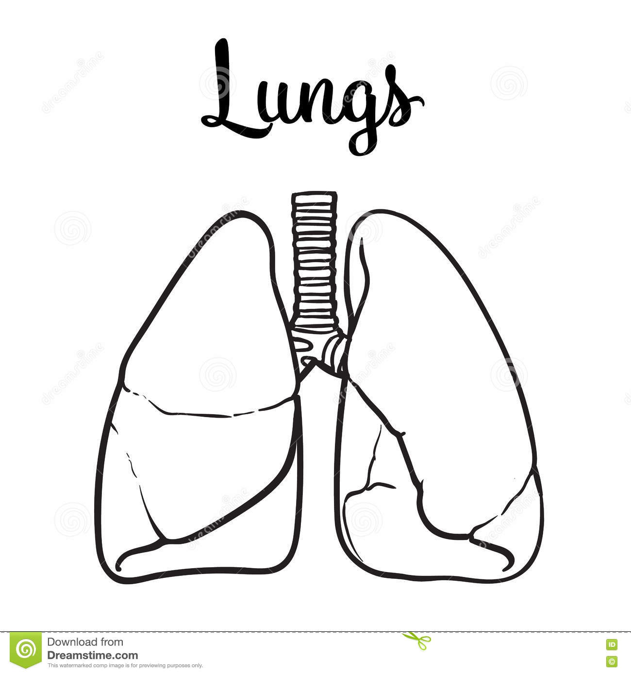 Lungs Of A Healthy Person Chitsye Stock Vector