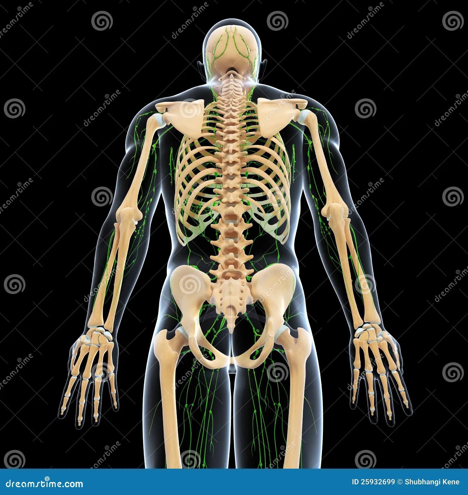 Lymphatic System With Back Side Of Skeleton Stock Illustration