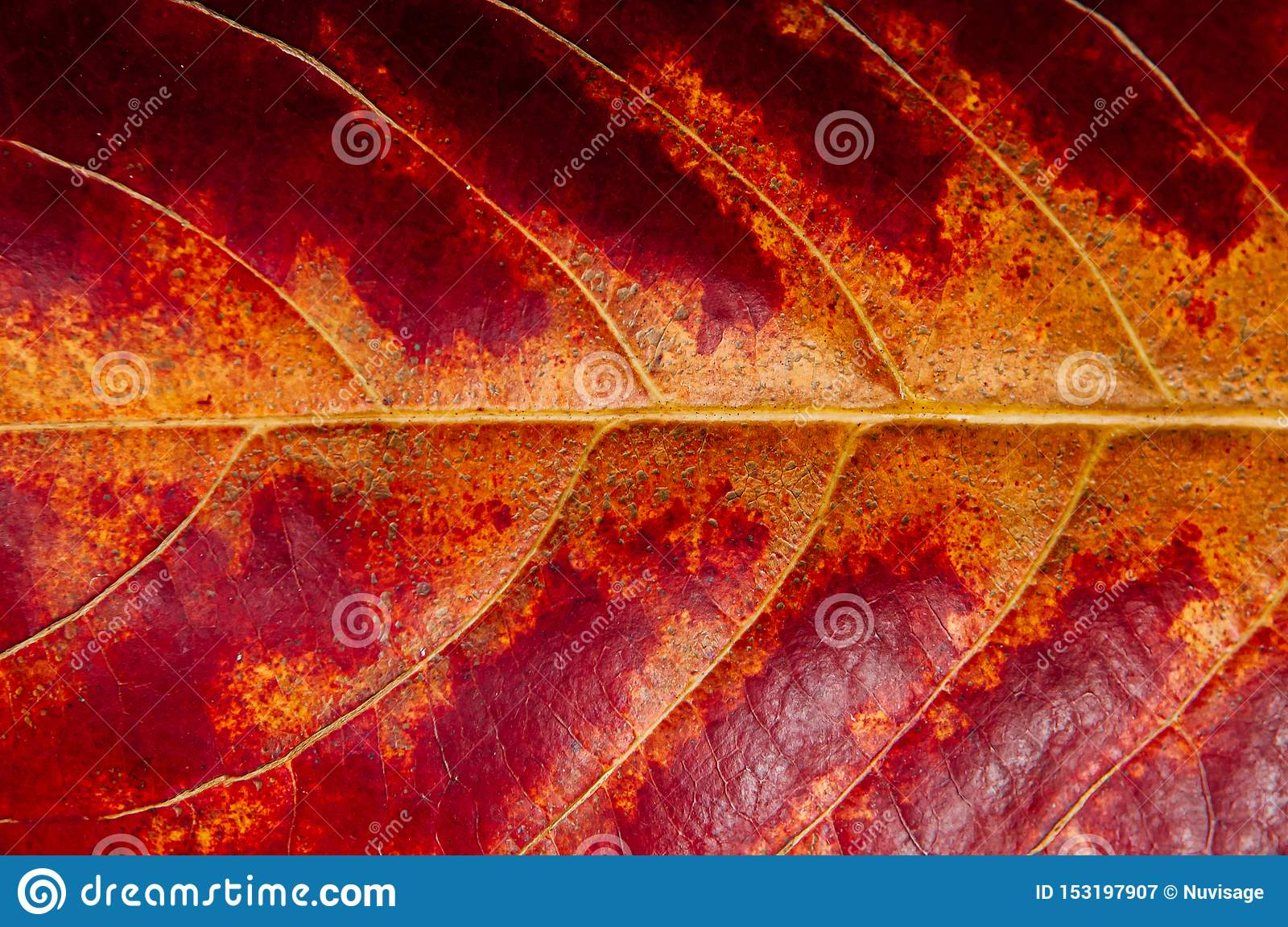 Macro Close Up Red Yellow Autumn Leaf Detail With Veins