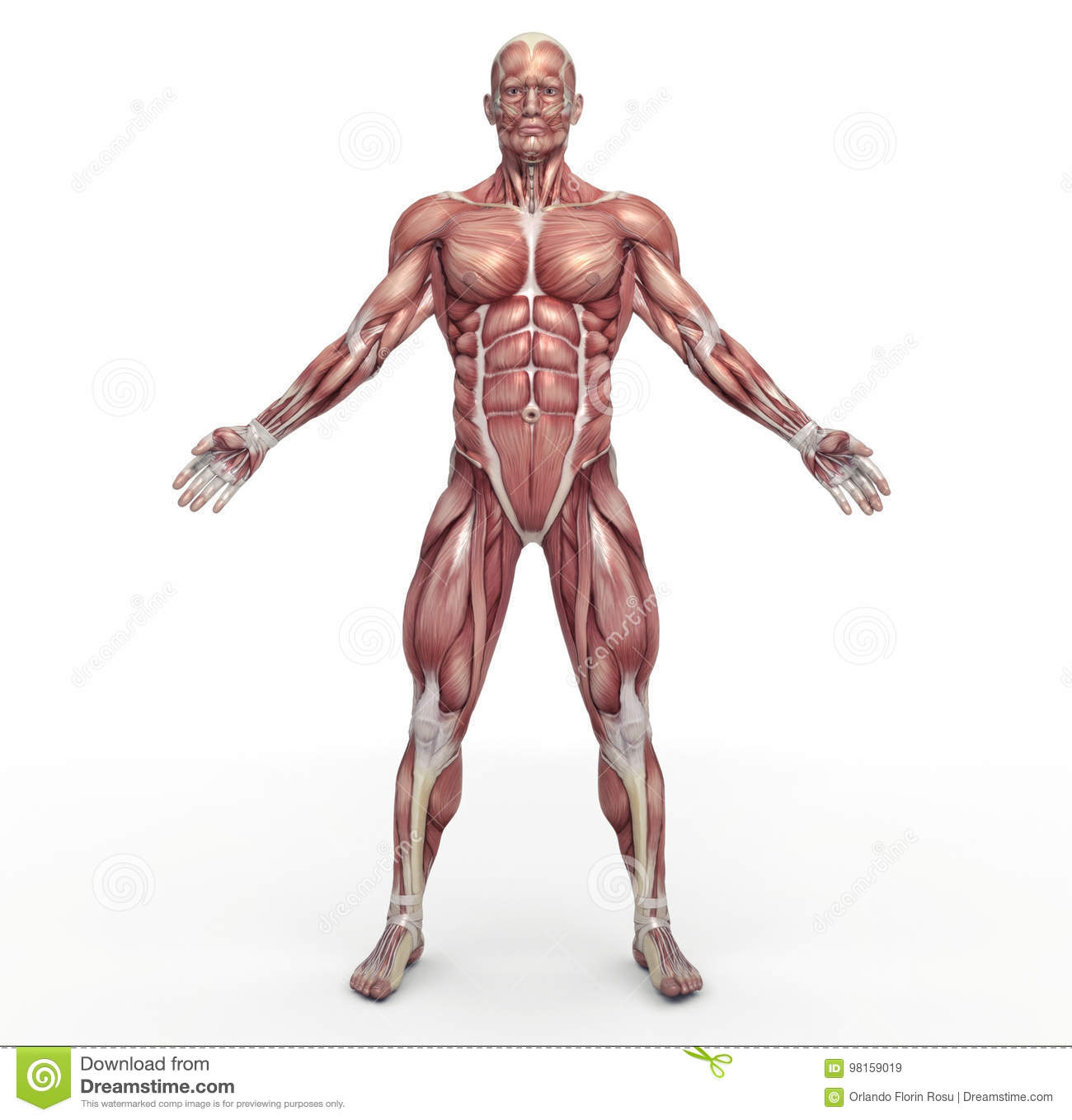 Muscular Cartoons Illustrations Amp Vector Stock Images