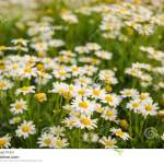 Many White Flowers Background On A Natural Garden Background Stock Photo Image Of Nature Natural 76041742