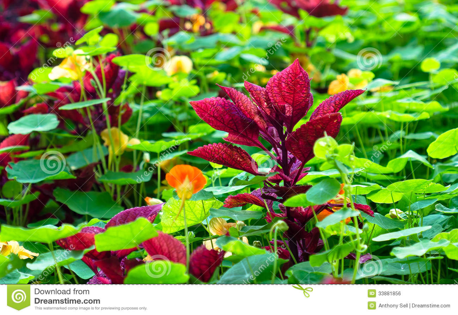 Maroon Coleus Plant Royalty Free Stock Image Image 33881856