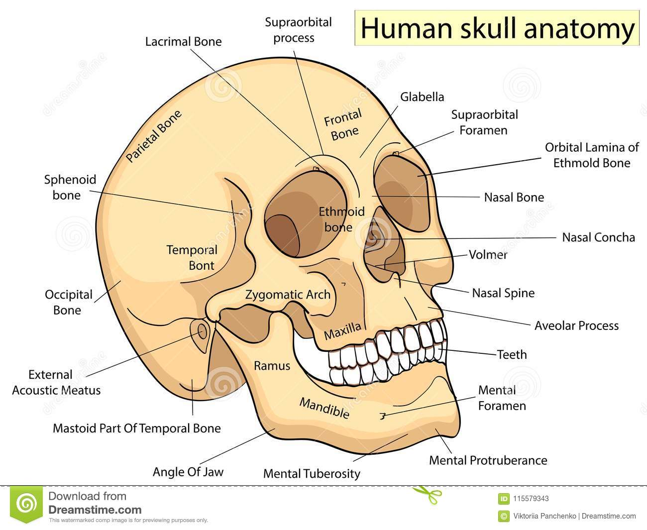 Medical Education Chart Of Biology Human Skull Diagram Vector Front Aspect White Background