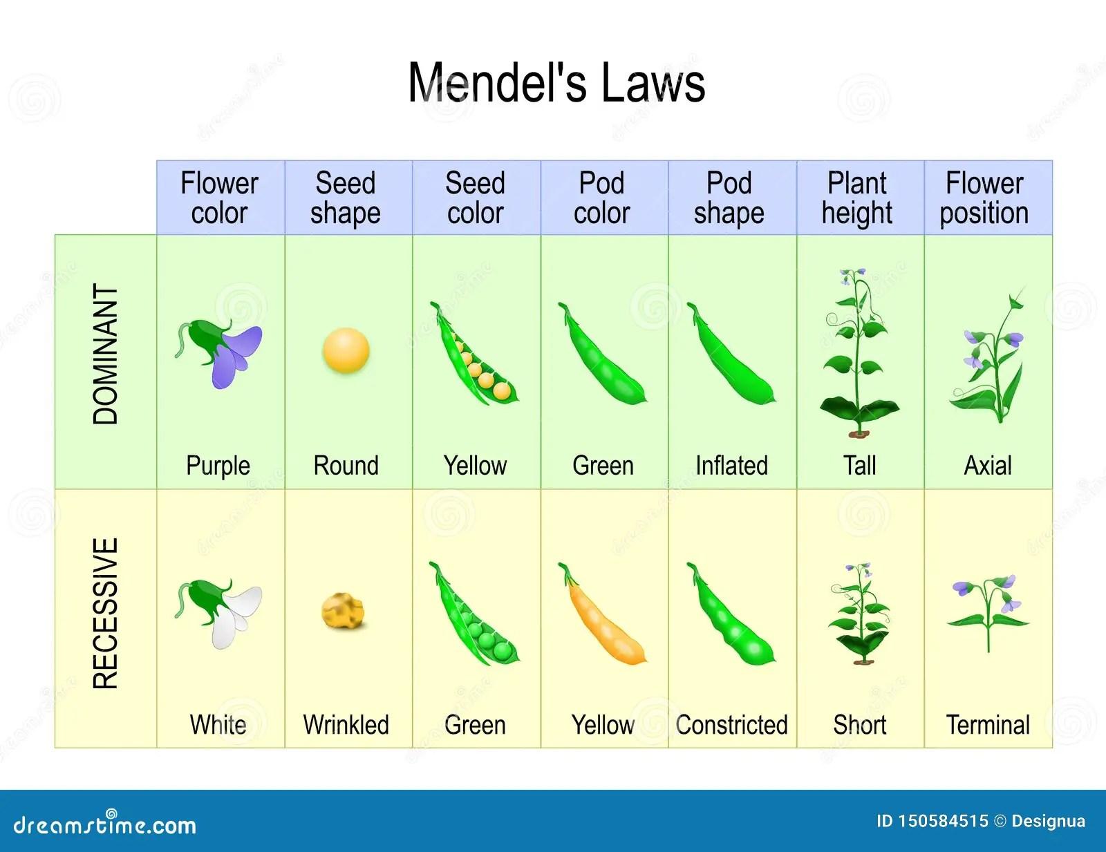 Mendel S Experiment Biological Inheritance Stock Vector