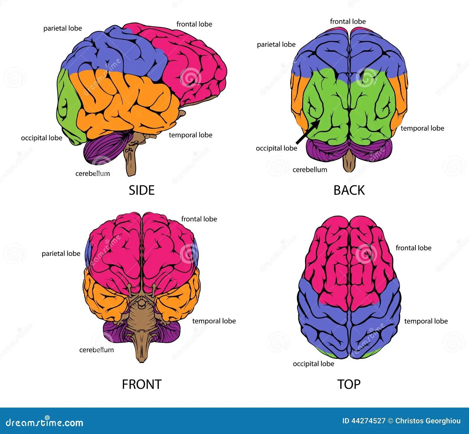 Menschliches Gehirn Von Allen Seiten Vektor Abbildung