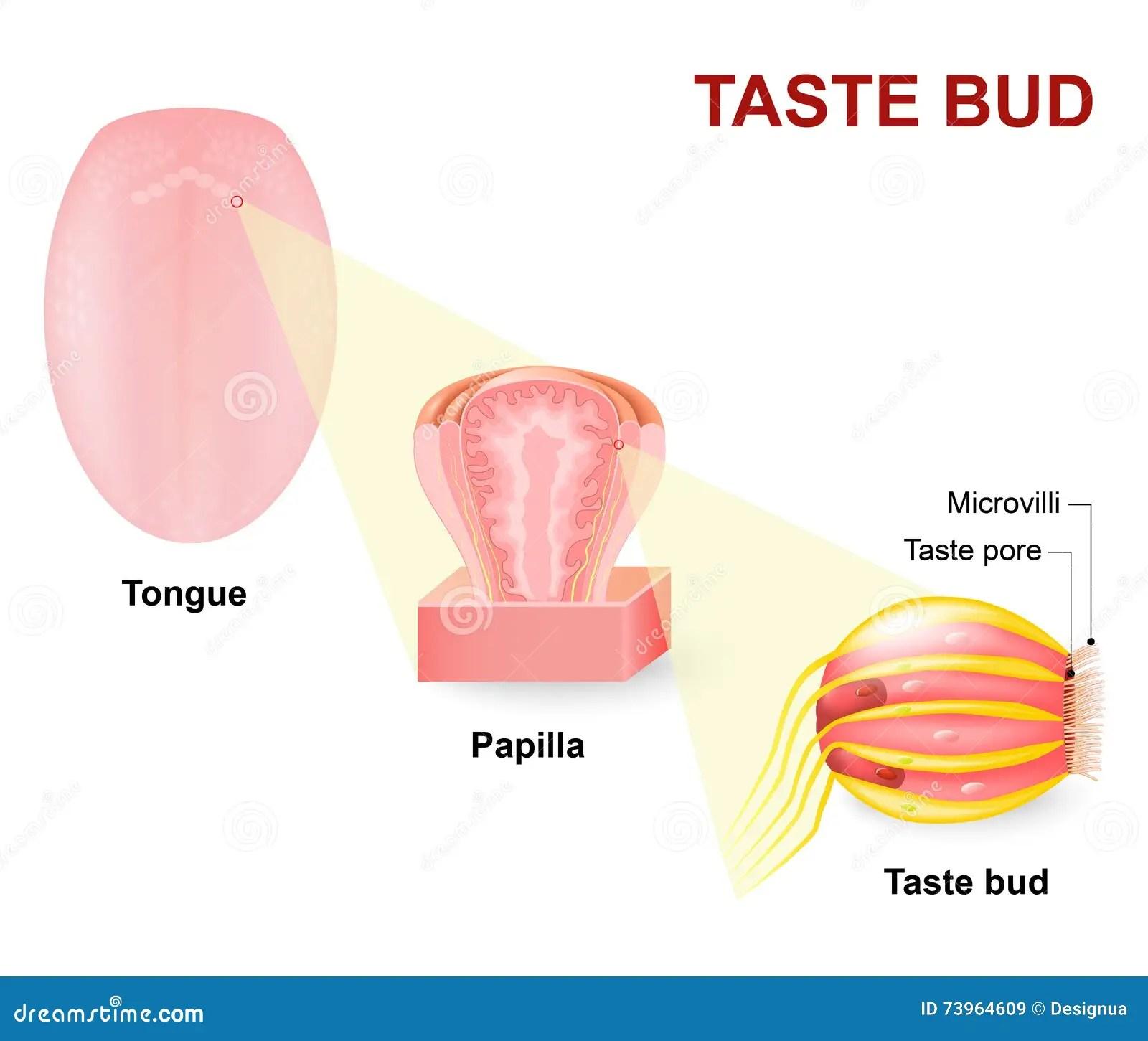Menselijke Tong Tongpapillae En Smaakpapil Vector