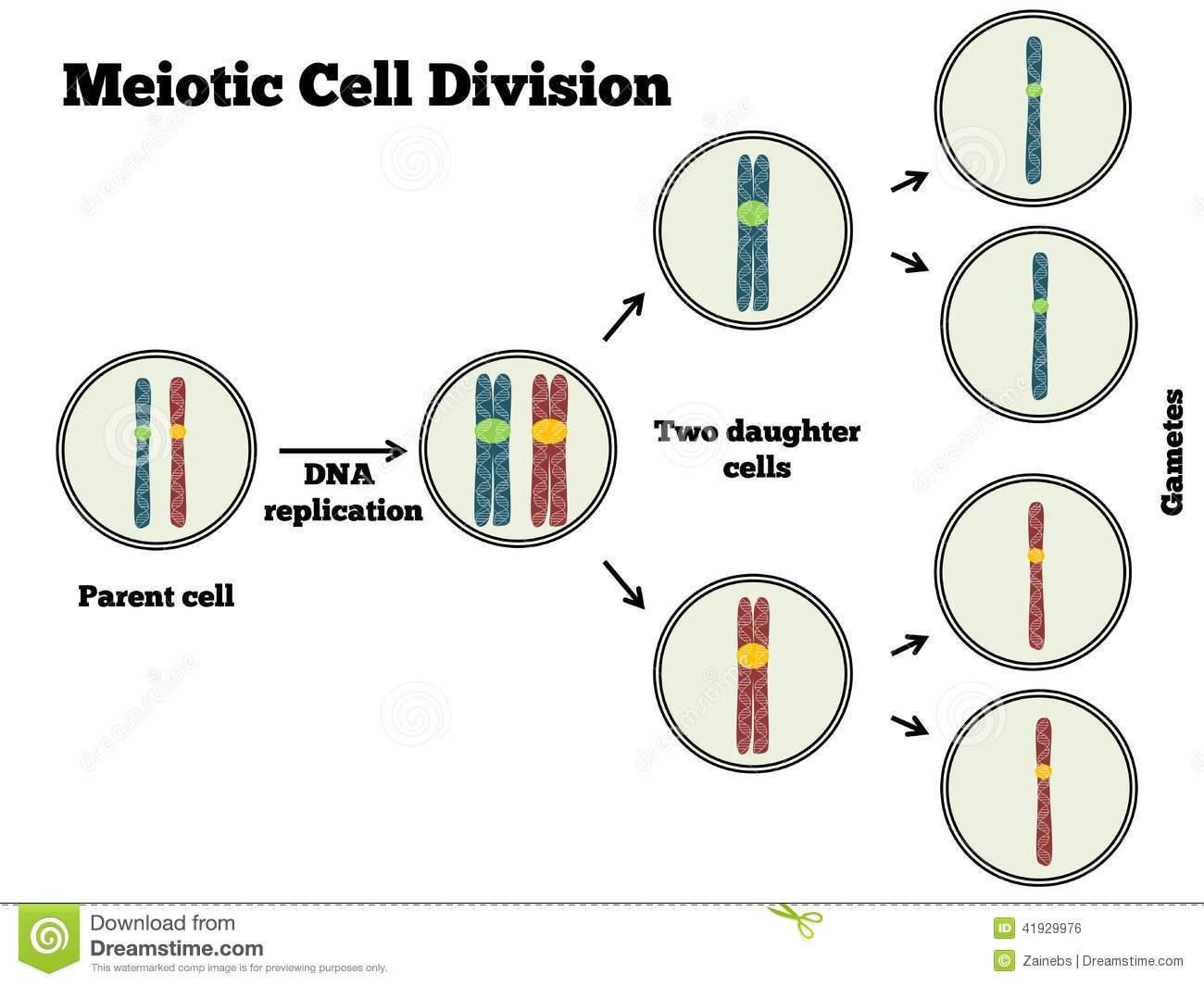 Meotic Cell Division Stock Vector