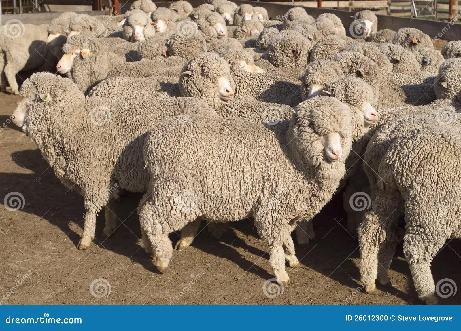 Merino Sheep Stock Photo Image 26012300