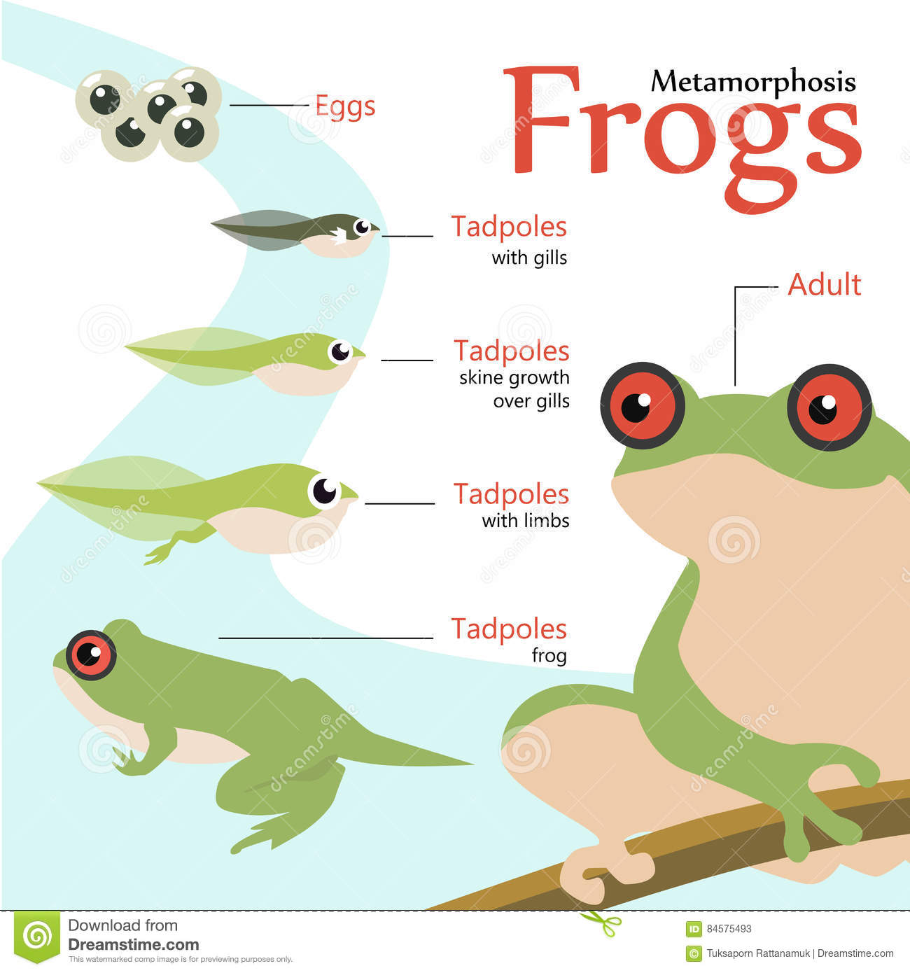 Metamorphosis Life Cycle Of A Frog Vector Illustration