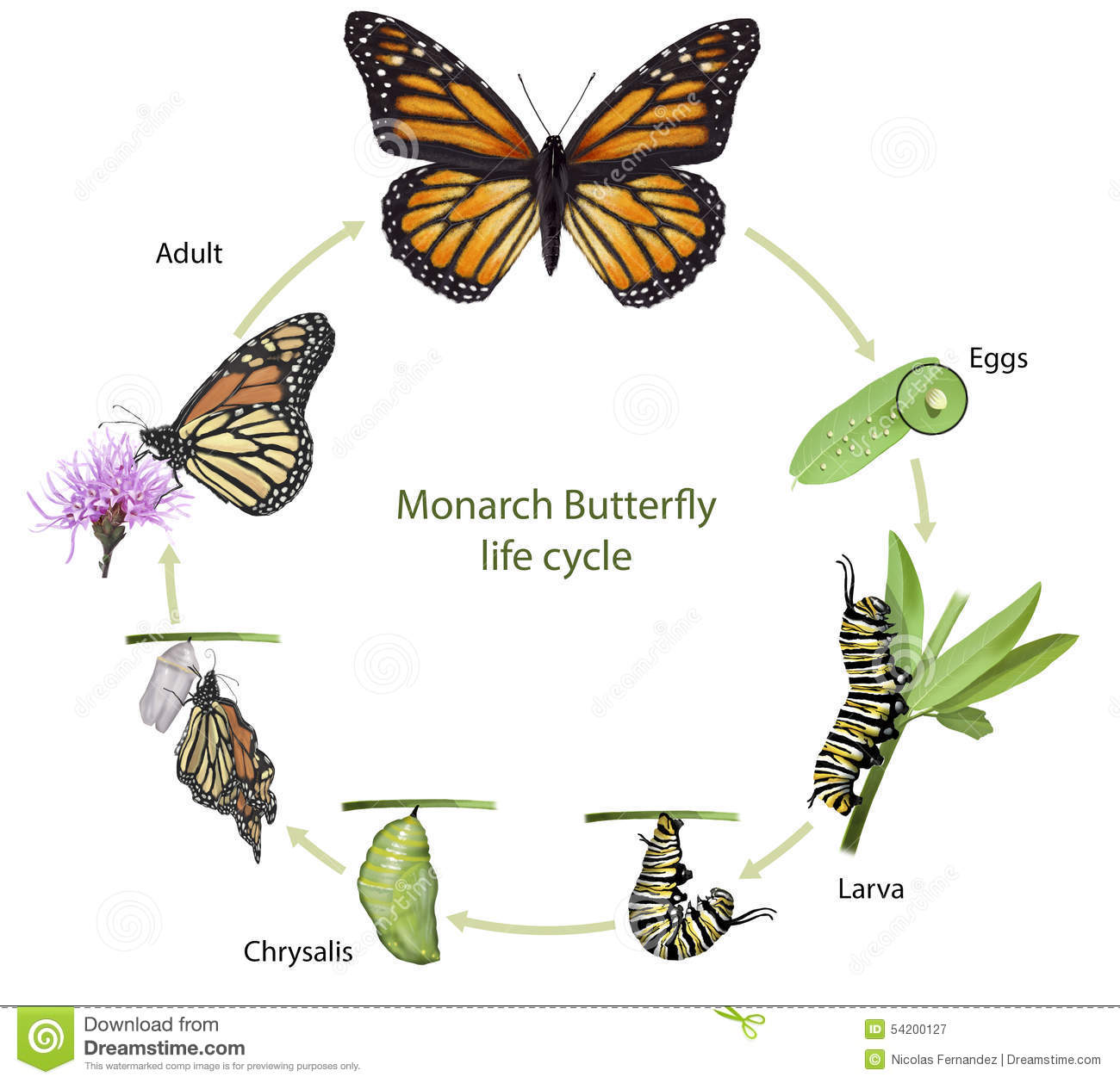 Monarch Butterfly Life Cycle Stock Illustration