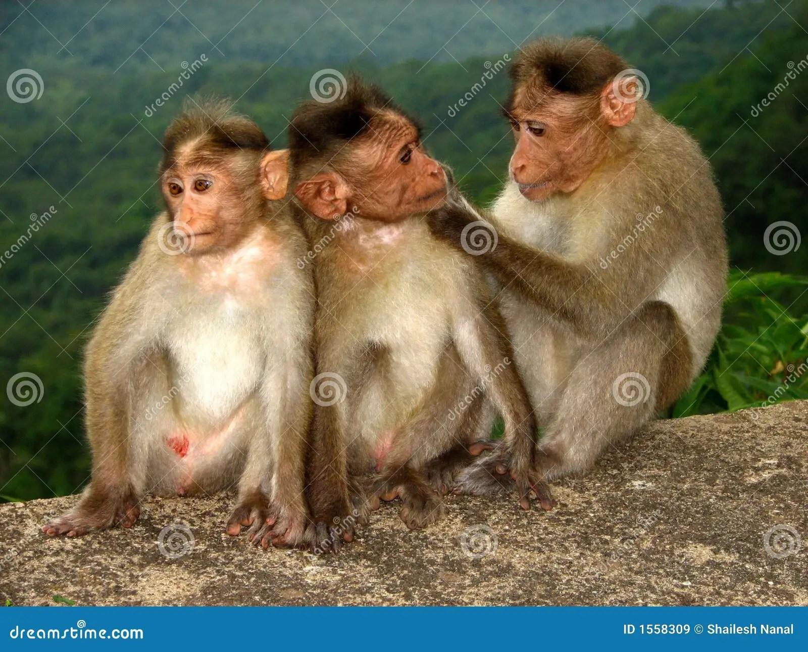 Monkey Love Stock Image Image Of Superb Three Mammal