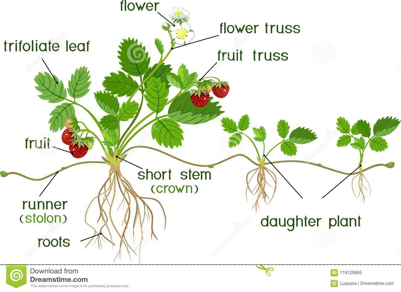 Morphology Of Garden Strawberry Plant Stock Vector