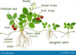 Morphology Of Garden Strawberry Plant Stock Vector  Illustration of flora, structure: 119128865