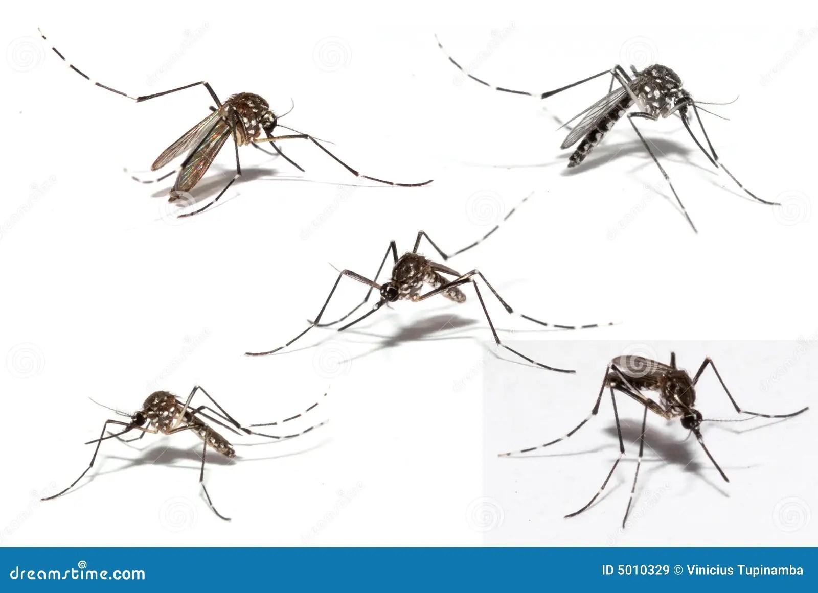Mosquito De La Dengue
