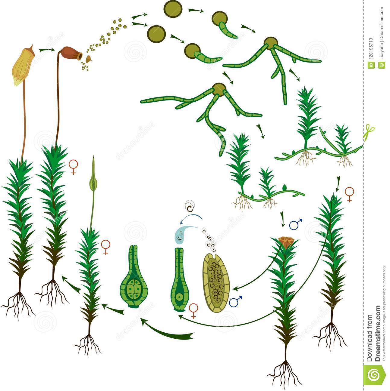 Moss Life Cycle Diagram Of Life Cycle Of Common Haircap
