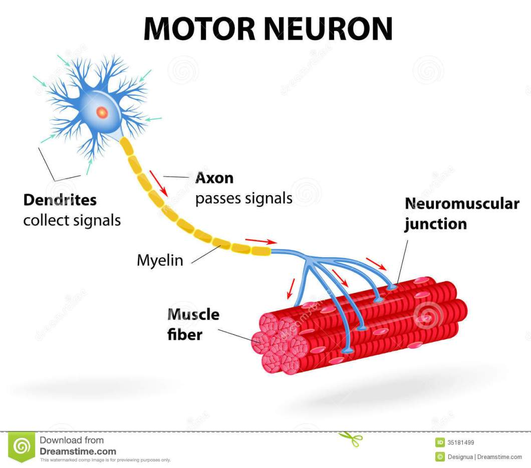 Diagram of motor neuron cell newmotorspot motor neuron vector diagram stock ilration of control ccuart Image collections