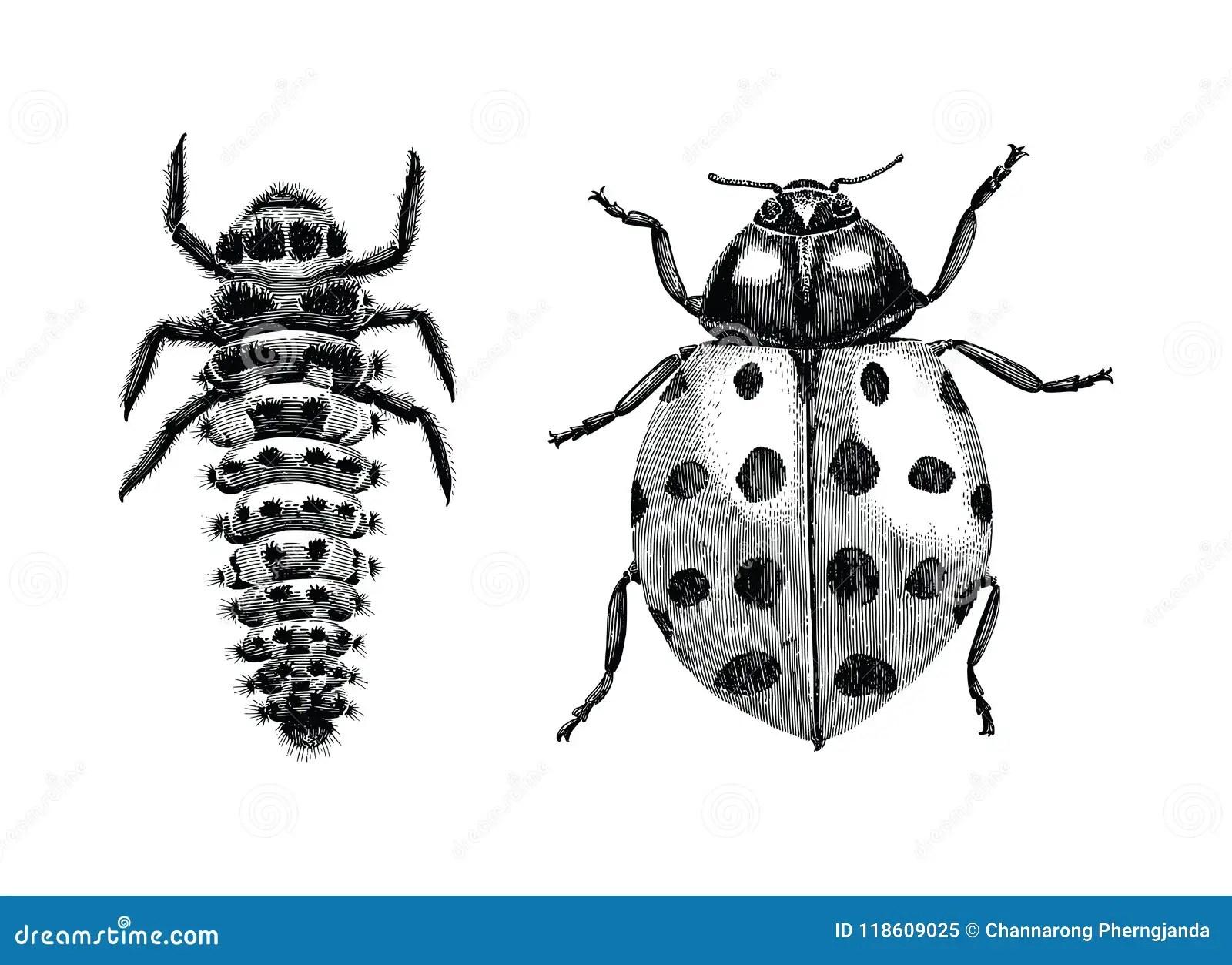 Multicolored Asian Lady Beetle Larva And Adult Lady Beetle