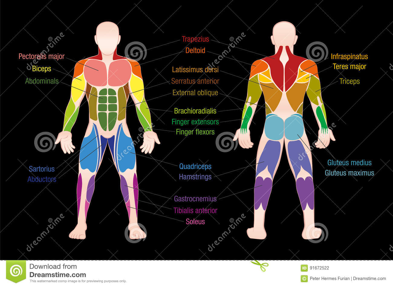 Muscle Chart Male Body Colored Muscles Stock Vector