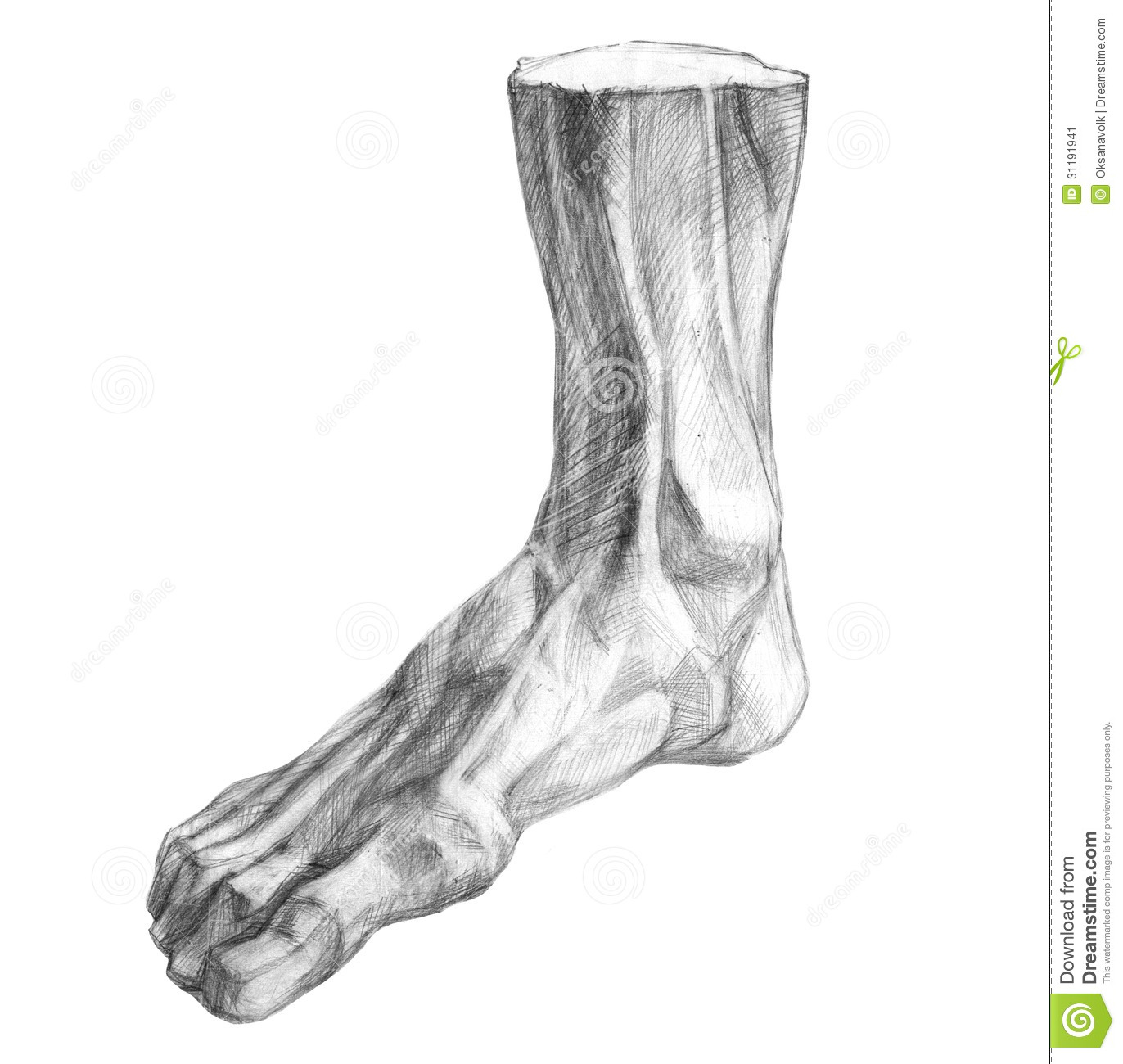 Muscles Of The Human Foot Pencil Drawing Stock Image