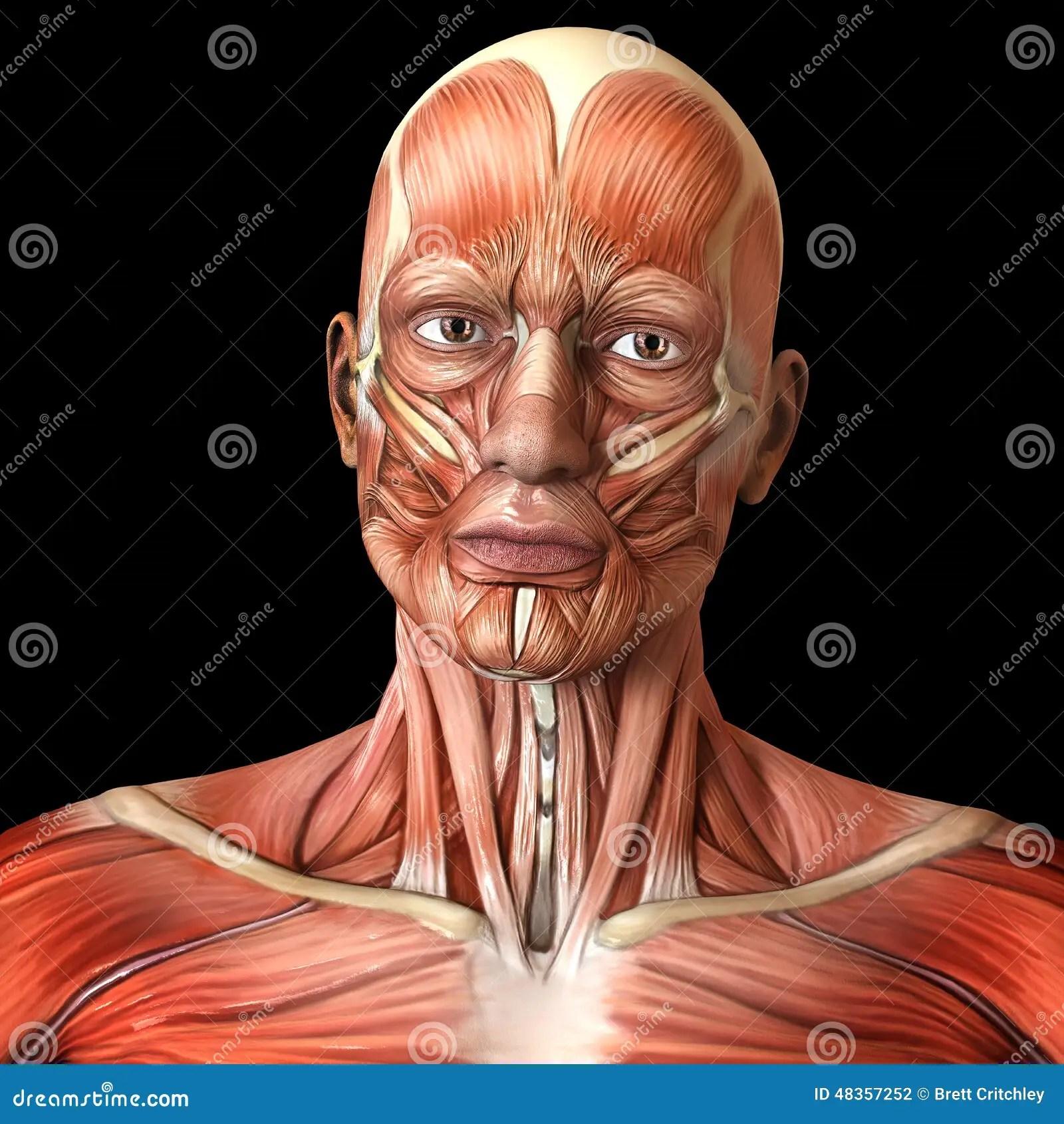 Muscoli Facciali Del Fronte