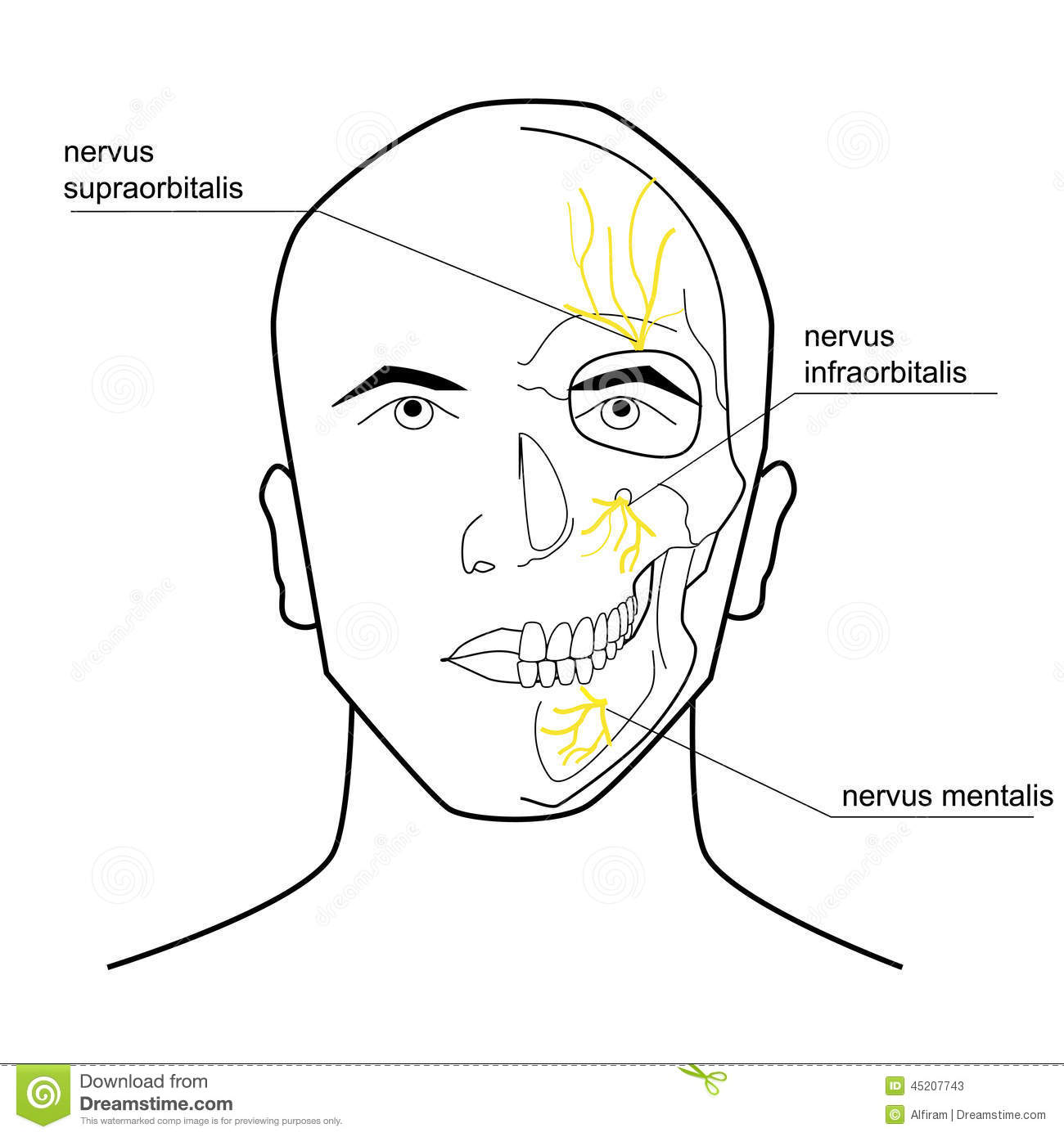 Nerves Of The Head Stock Vector Illustration Of Drawing