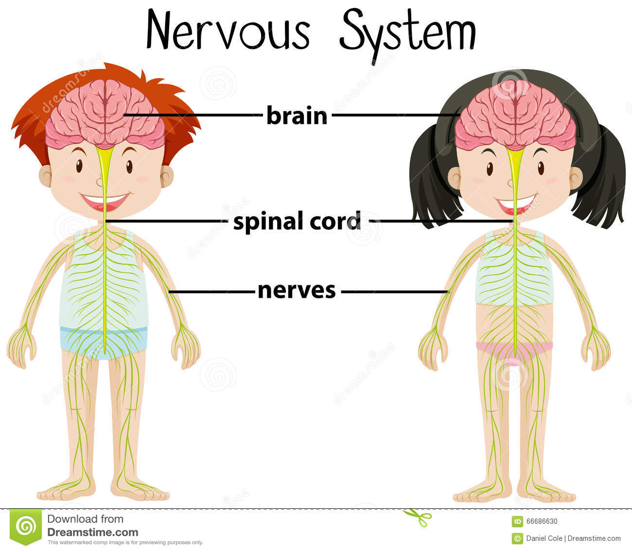 Nervous System Of Boy And Girl Stock Vector