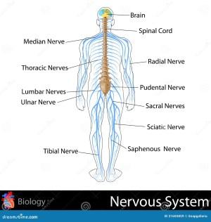 Nervous System stock illustration Illustration of graphic