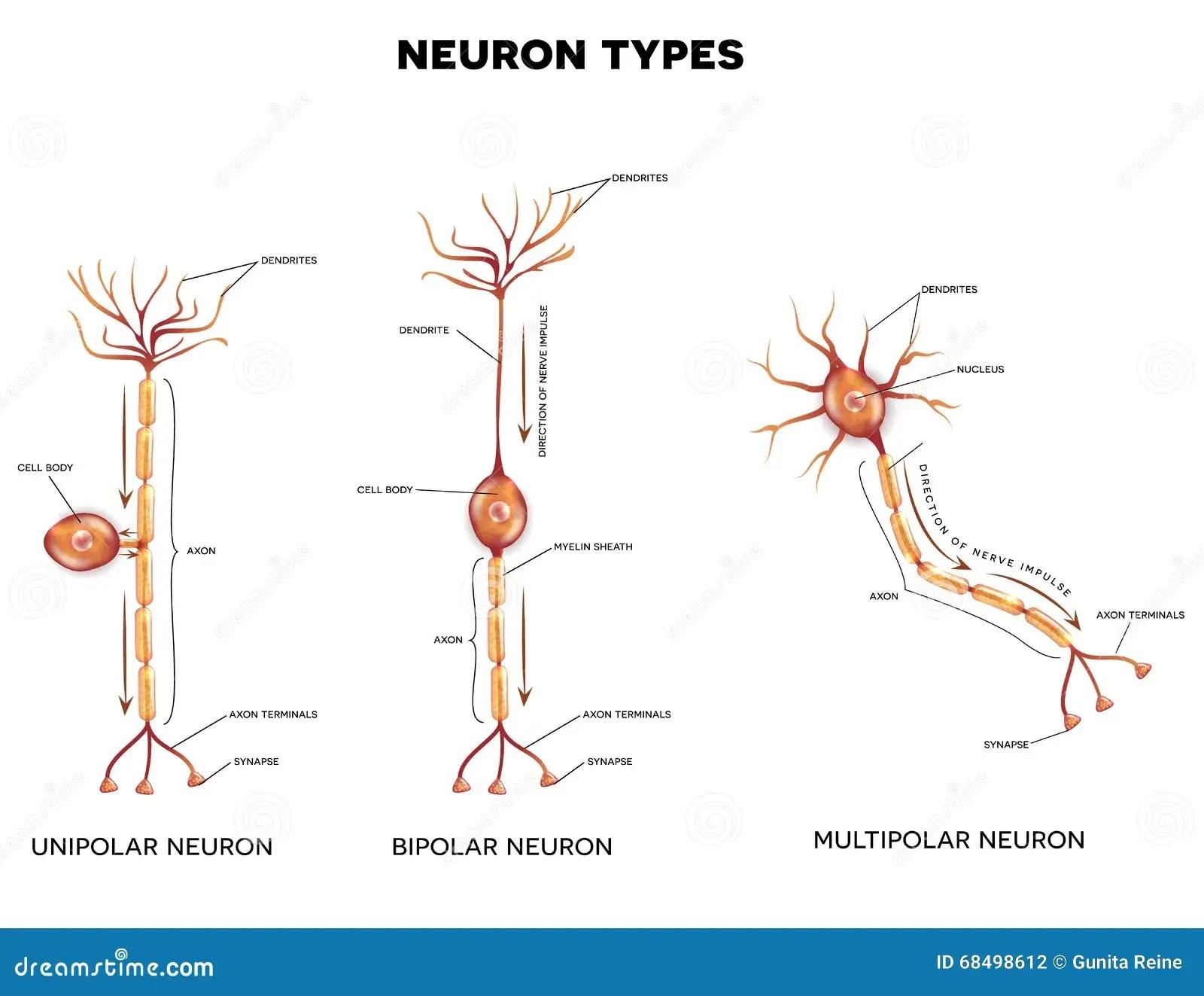 Neuron Types Stock Vector Illustration Of Cord Myelin