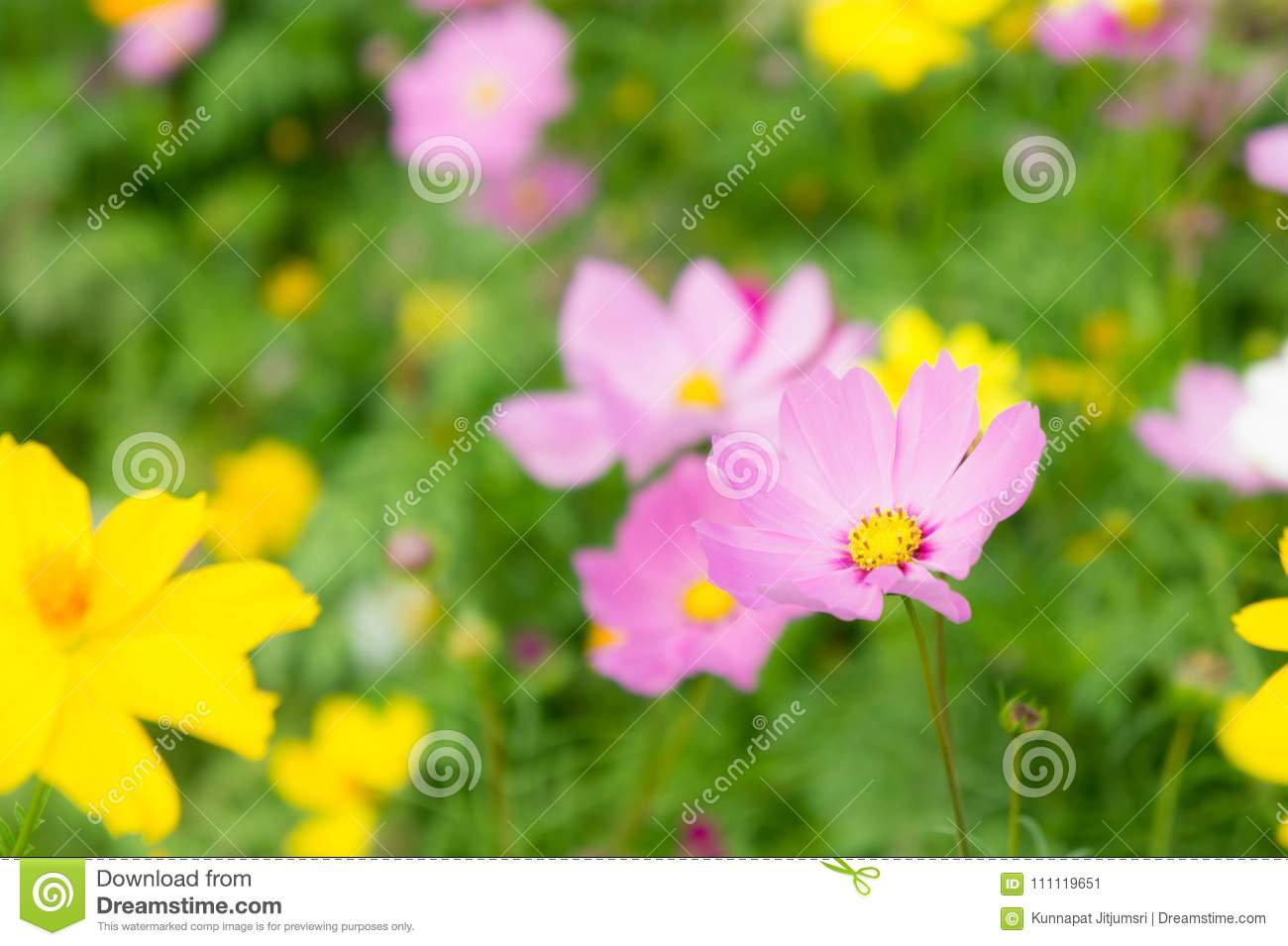 The Nice Day And Nice Flowers Cosmos Colorful On Field Pink Flowers     Royalty Free Stock Photo