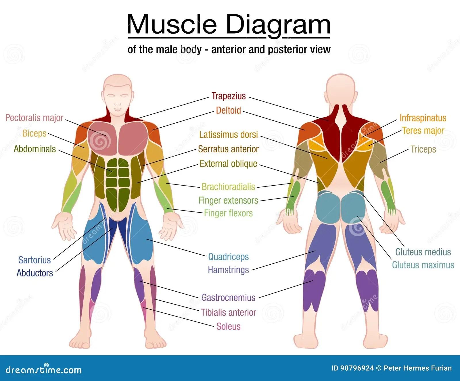 Nomi Del Corpo Maschio Del Diagramma Del Muscolo