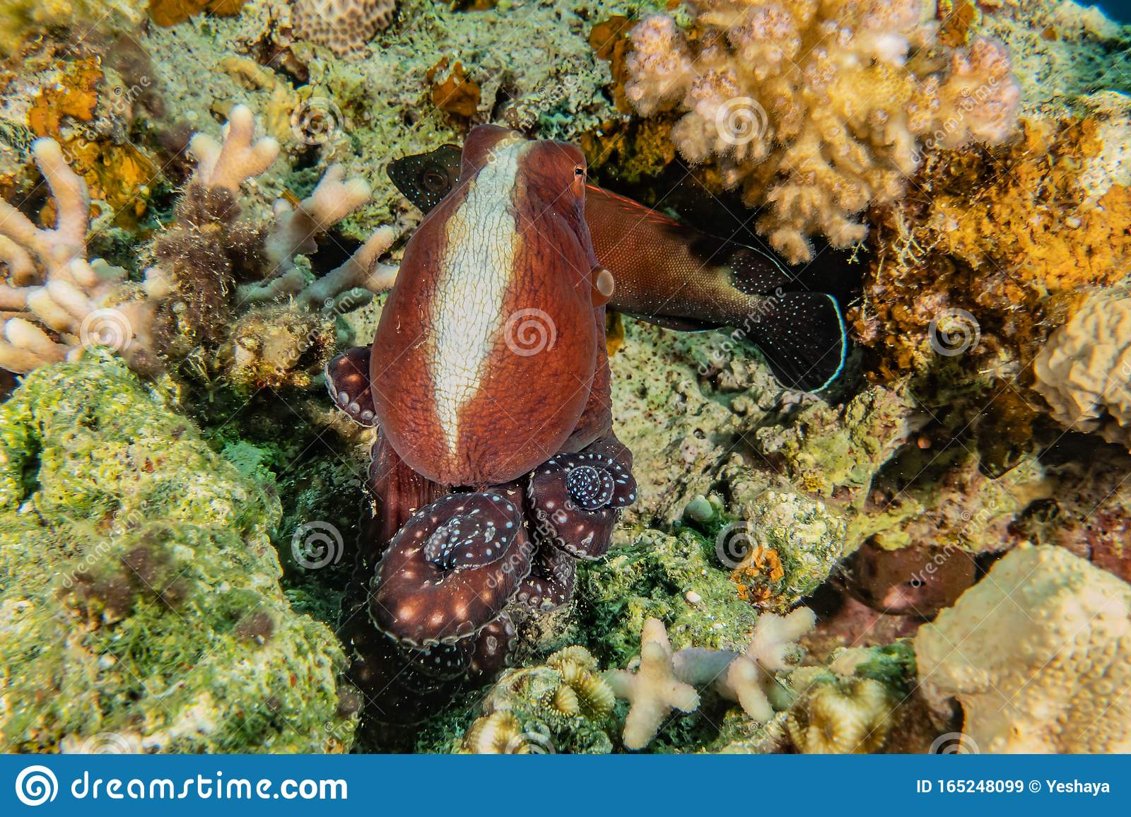Octopus King Of Camouflage In The Red Sea Stock Image