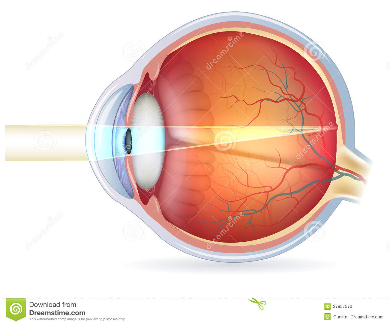 Oeil Humain En Coupe Vision Normale Photo Stock
