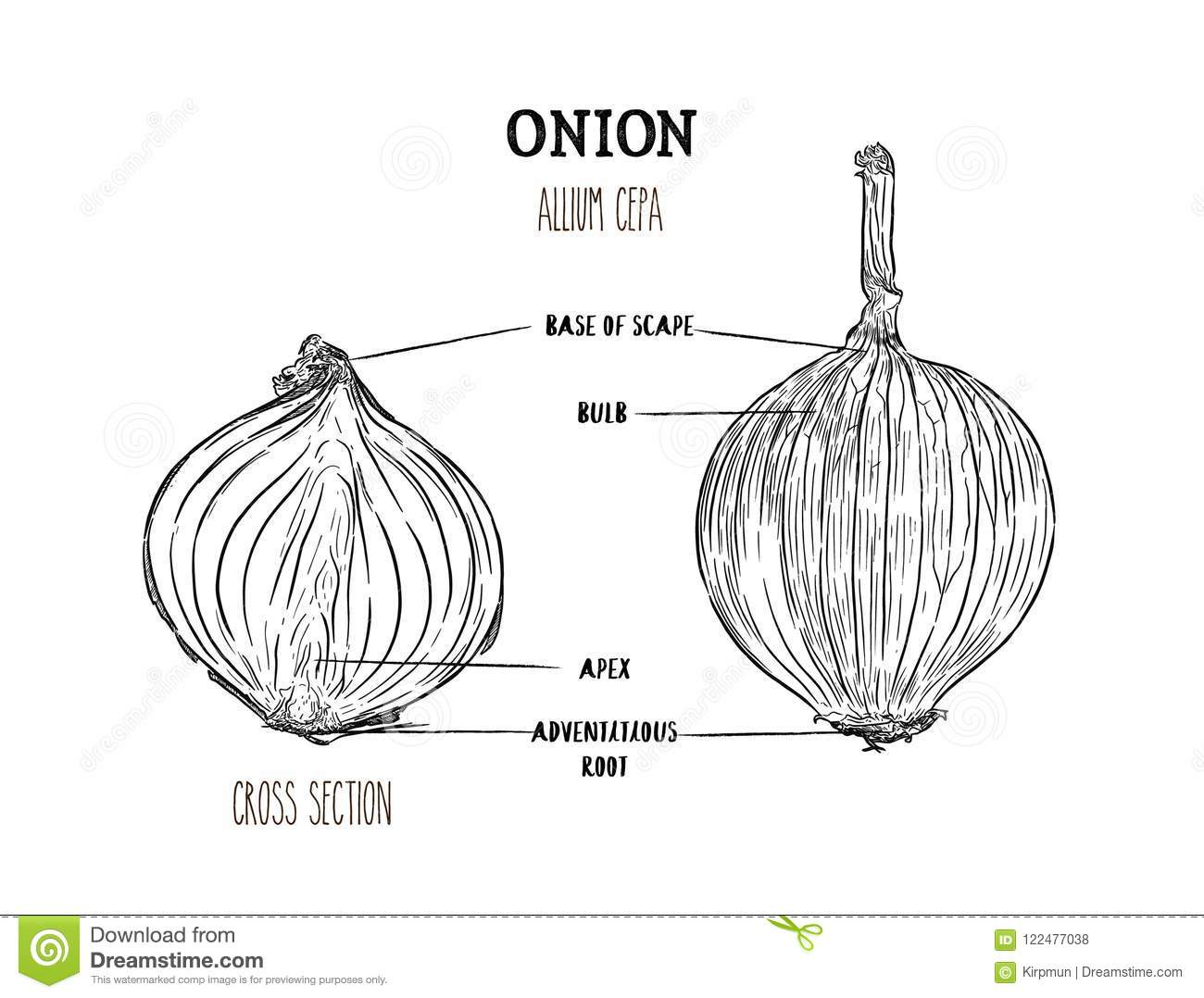 Onion Hand Drawn Vector Set Full And Half Cutout Slice