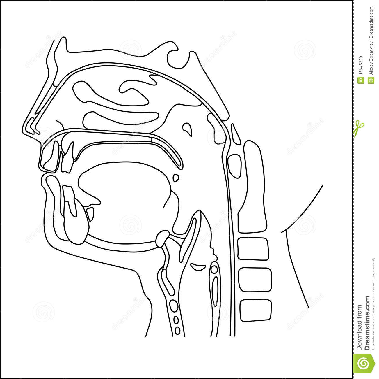 Oral Cavity Stock Vector Image Of Longitudinal Pharynx