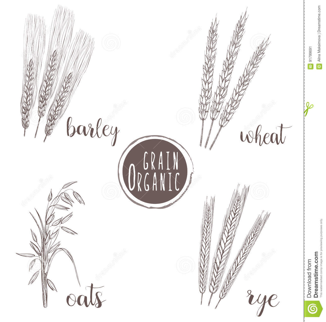 Organic Grain Sketch Illustration Hand Drawing Wheat