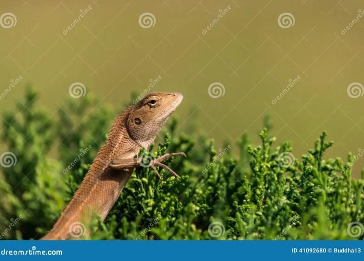 oriental garden lizard (chameleon) stock photo - image of
