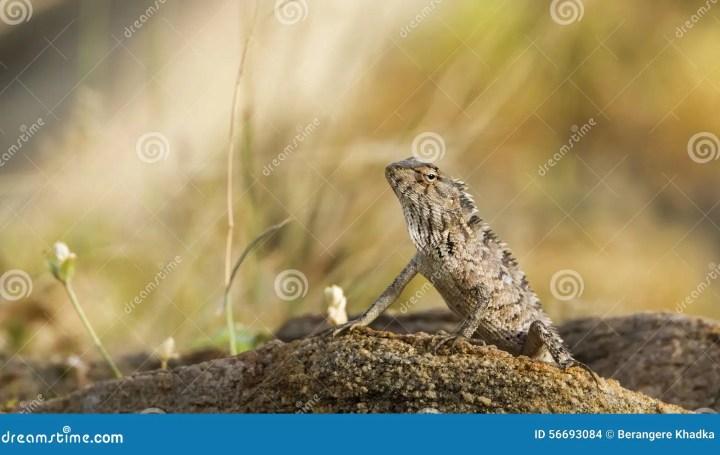 oriental garden lizard in pottuvil, sri lanka stock photo