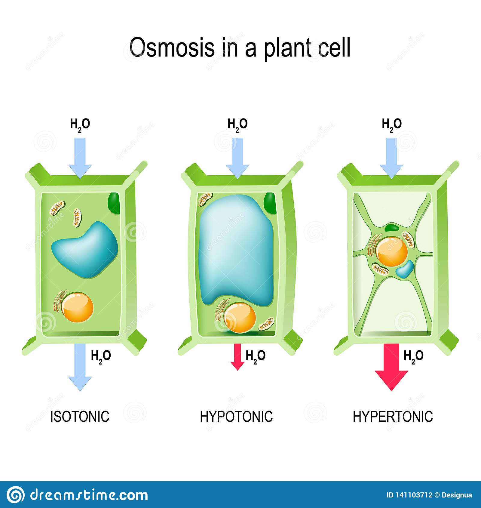 Osmosis In A Plant Cell Stock Vector Illustration Of