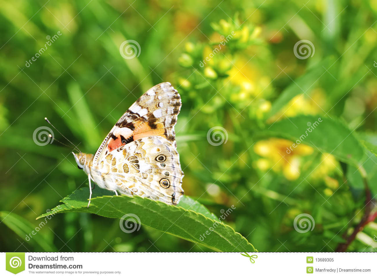 Painted Lady Butterfly Stock Image Image Of Lady Plants